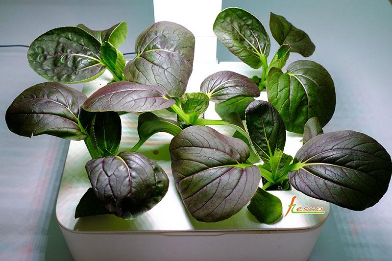 紫色青江菜