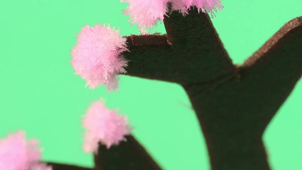 4 ‧3-4小時後,櫻花會開始逐漸萌芽,並傳來陣陣櫻花香。24小時內櫻花即會完全盛開。  注意:水溶液濃度、環境溫度及濕度、是否通風及紙樹分岔的情形都會影響指數開花的快慢及程度。