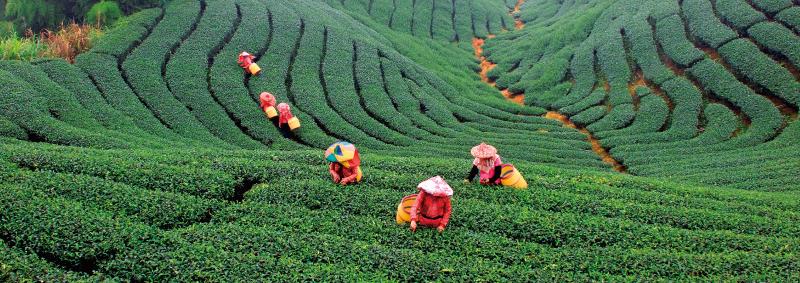產地 自由葉 100% 台灣製造無添加,珍惜台灣的好山好水,深入每個產地生產鏈,尋找秉持永續經營理念的製茶達人成為契作夥伴,忠實地帶給消費者產地原味。